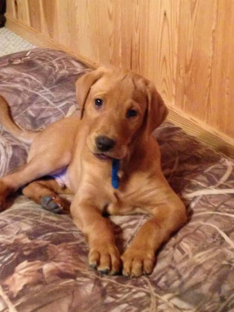 Purebred Labrador Retriever Puppies - Bell's Labradors