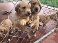 Labrador Puppies Week 6