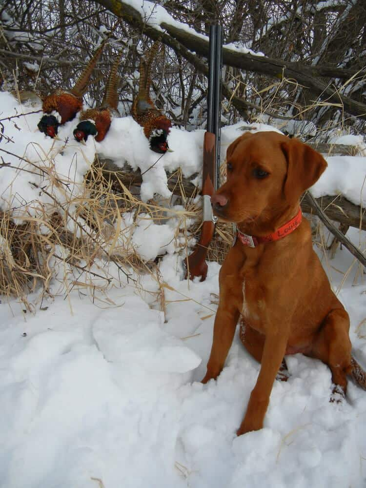 Collaboration With Iowa Red Labs - Bell's Labradors